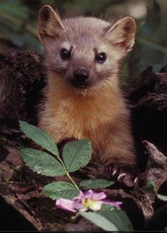Psipsuna, a pine marten in Capt. Corelli's Mandolin set in Cephallonia, Greece.