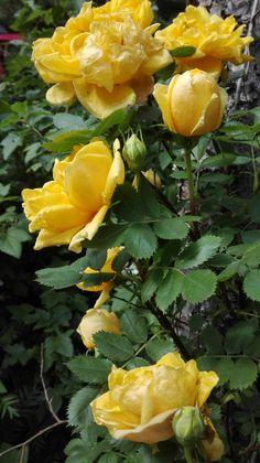 #keltaruusu #keltainen ruusu #yellow rose