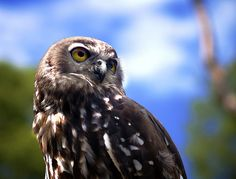 Barking Owl by Erik K Veland, via Flickr
