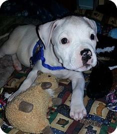 Ridgewood, NY - American Pit Bull Terrier Mix. Meet Frankie a Puppy for Adoption.