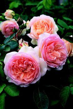 David Austin English Rose: Perdita