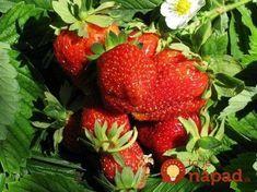 Toto poraďte každému záhradkárovi: O takej úrode jahôd sa vám ani nesnívalo! House Plant Care, Houseplants, Flora, Remedies, Strawberry, Food And Drink, Health Fitness, Home And Garden, Fruit