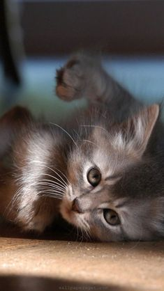 Funny Kitten Wallpaper for Android, iPhone and iPad Baby Cats, Baby Animals, Funny Animals, Cute Animals, Kittens Playing, Cute Kittens, Cats And Kittens, Pretty Cats, Beautiful Cats