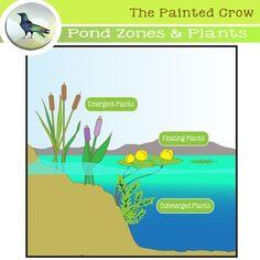 Pond Zones And Aquatic Plants Clip Art Plant Clips Aquatic Plants Clip Art