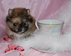 Teacup Pomeranian puppy for sale in Texas.
