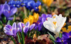 Обои крокусы, желтый, листья, синий, краски, яркость, размытость, Весна, фон, подснежники, цвета, цветы, зелень
