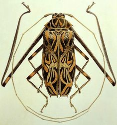 Brigid Edwards Acrocinus longimanus (Harlequin Beetle) 2005 - Pin This Beetle Insect, Beetle Bug, Insect Art, Cool Insects, Bugs And Insects, Mantis Religiosa, Cool Bugs, Bug Art, A Bug's Life