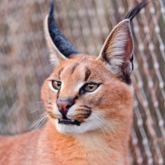 Portrait of a caracal by Tambako the Jaguar, via Flickr