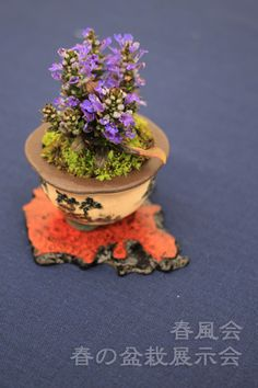 To exhibition bonsai of spring Board of spring breeze. Bonsai ごっこ Picture |. ... Camera sometimes.