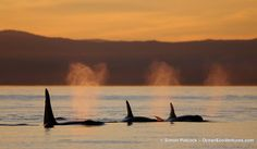 Orcas at sunset.
