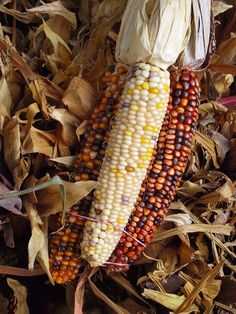 Indian Corn. Reminds me of the craft fairs in the fall!
