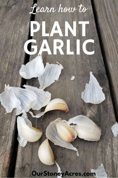 Early to mid Fall is the perfect time for planting garlic. Garlic planted in the Fall almost always does better than spring planted garlic. #plantinggarlic #gardening #vegetablegardening #backyardgardening
