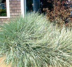 Beach grass/Dune grass Beach Landscape Ideas: Plants for Landscaping Near the Ocean