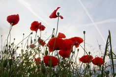 coquelicots by Isabelle Cerf worsham on 500px