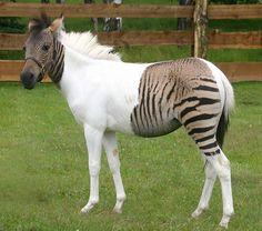 Der Vater ein Pferd, die Mutter ein Zebra - hier das Ergebnis (Foto von: Safaripark Stukenbrock)
