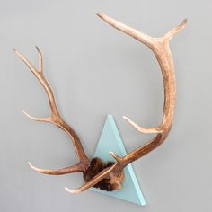 XL Cloud Blue Triangle Mounted 9 Point Elk Antler Spread
