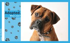 People looking for Boxer dog puppies, Boxer dogs for sale, or Boxer dogs for adoption should read this book first to learn about the breed and about breed rescue.