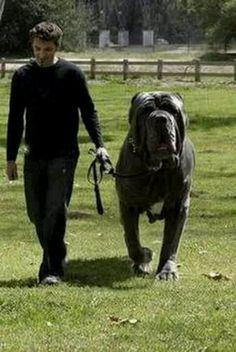 Hercules an English Mastiff. Weighs 282 lbs
