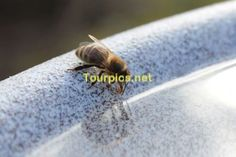 A thirsty bee is drinking from a water bowl - This picture is available without watermark on stock agencies. Please follow the link(s): https://www.shutterstock.com/de/image-photo/thirsty-bee-drinking-water-bowl-593259776 https://de.fotolia.com/id/140002838