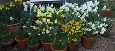 A Trial of Scented Daffodils for Containers - Pumpkin Beth - Mana vietne Container Plants, Container Gardening, Gardening Tips, Beneficial Insects, Pastel Shades, Daffodils, Yellow Flowers, Trials, Stuff To Do