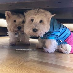 West Highland Terrier is an affectionate dog that looks like a stuffed toy but has a kind soul, filled with love and the desire to be loved. Westie Puppies, Baby Puppies, Westies, Dogs And Puppies, Chihuahuas, Doggies, Highlands Terrier, West Highland Terrier, Otters Cute
