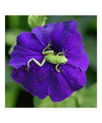 frog on a petunia!