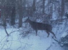 A few weeks ago I was working at the computer and my daughter said Mom, look outside, there are deer in the back-yard.  Sure enough, there were three White