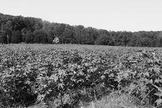 Alabama Chanin: Organic Cotton Field