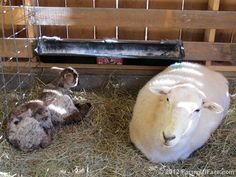 Franny and her new twins. It's lambing season on the farm! Tune in for lamb reports and plenty of cute overload.