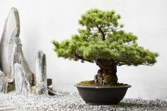 Bonsai  The art of shaping and growing miniature stalks the vessel was brought from China to Japan in the 11th century. It is only required knowledge for growing herbs, but you should possess artistic ability.