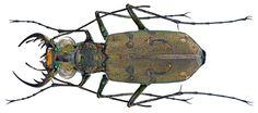 Family: Carabidae Size: 10,7 mm Location: Vietnam North, Bac Kan Prov., Ba Bè National Park, 180-220 m leg. A.Skale, 16.-20.V.2014; det. J.Wiesner, 2014 Photo: U.Schmidt, 2014