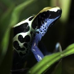 Gorgeous and poisonous. But mostly gorgeous. Chicago Zoo. A small, brightly colored frog, the dyeing poison arrow frog can reach up to 2 inches in length. It has a patterned black-and-white back; the legs are blue with black spots. The species' bright colors warn potential predators of the frog's toxic skin.