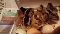 Third Hatch in Brinsea ovaeasy part two Third