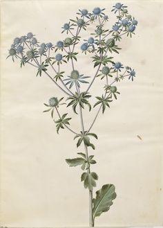 Eryngium planum, KKSgb2950/22 Vintage Botanical Prints, Botanical Drawings, Botanical Illustration, Botanical Flowers, Botanical Art, Sea Holly, Vintage Images, Plant Leaves, Aqua