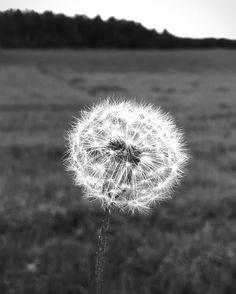 #voikukka #dandelion #natureart #blackandwhitephotography #viikki by jarkkopiirainen