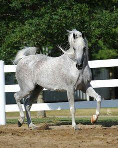 Emanor Arabian horse !                                                       …