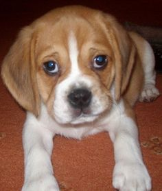 puggle puppies for sale in indiana