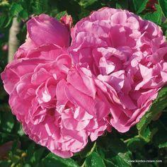 rose_rosa_bodendecker_romantic-roadrunner_kordes_01_1