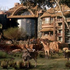 Disney World Animal Kingdom Resort. Love eating at Boma here,hanging out at the pool, and watching the animals on the savanna.
