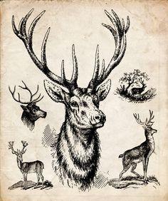 """Antique Woodland Print """"Trophy Deer"""" Natural History Illustration - Vintage Forest Print - Deer Antlers. $25,00, via Etsy."""
