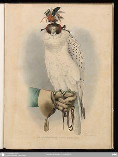 """""""Le Groënlandais, Faucon Blanc Mué"""" from 'Traité de Fauconnerie"""" (1844-1853) by Hermann Schlegel and Abraham H Verster van Wulverhorst."""