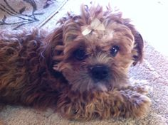 Gucci #yorkiepoo #dogs #cute