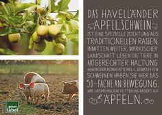 Das Havelländer Apfelschwein