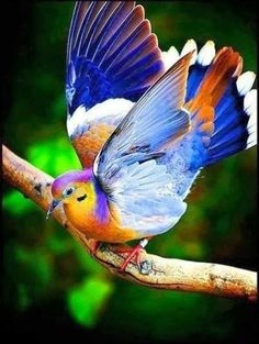 Rare fruit doves, we gone have these at our weeding