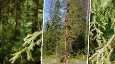 Pennut kiipesivät puuhun, emolla paloi päreet – Marko kuvasi eläimellisen hetken - Kotimaa - Ilta-Sanomat