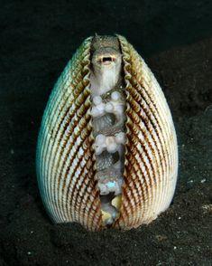 ¿Una almeja? No, un pulpo asustado Esta fotografía refleja a la perfección el comportamiento de un pulpo de la especie Amphioctopus marginatus, conocidos también como pulpos de los cocos o de las conchas.  Estos pulpos utilizan conchas o cáscaras de coco para esconderse y protegerse de sus depredadores naturales.