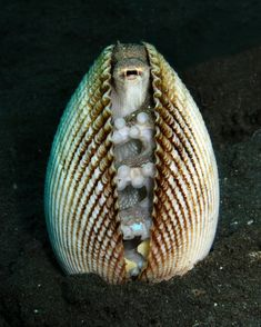 A clam? No, an octopus scared