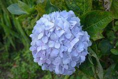 The Best Way To Grow  Endless Summer Hydrangeas