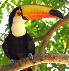 , popularly known as tucanucu, tucanacu, tucano-grande (big toucan) and tucano-boi (bull tucan). It live in the forests of Central America and South America. Tropical Birds, Colorful Birds, Toco Toucan, Rainforest Animals, Amazon Rainforest, All Birds, Bird Watching, My Animal, Bird Feathers
