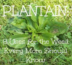 Better Than Eden: Plantain: Eight Uses for the Weed Every Mom Should Know